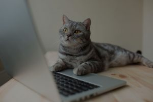 scottish straight gray cat working at the computer as a developer online