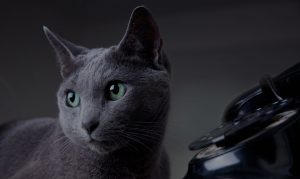 grey cat and vintage telephone