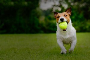 Puppy playing playing with ball in his mouth