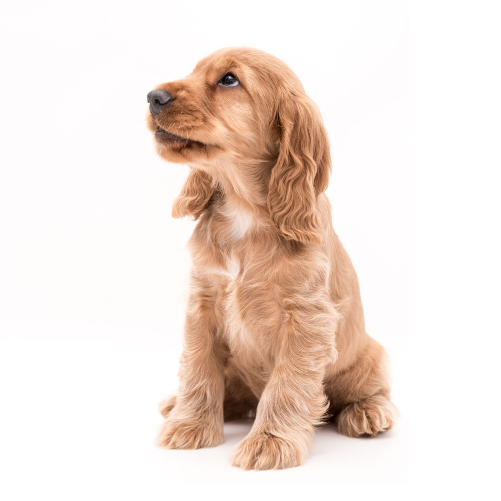 Cute brown puppy on white background