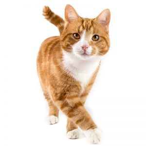 Cat looking at camera on white background